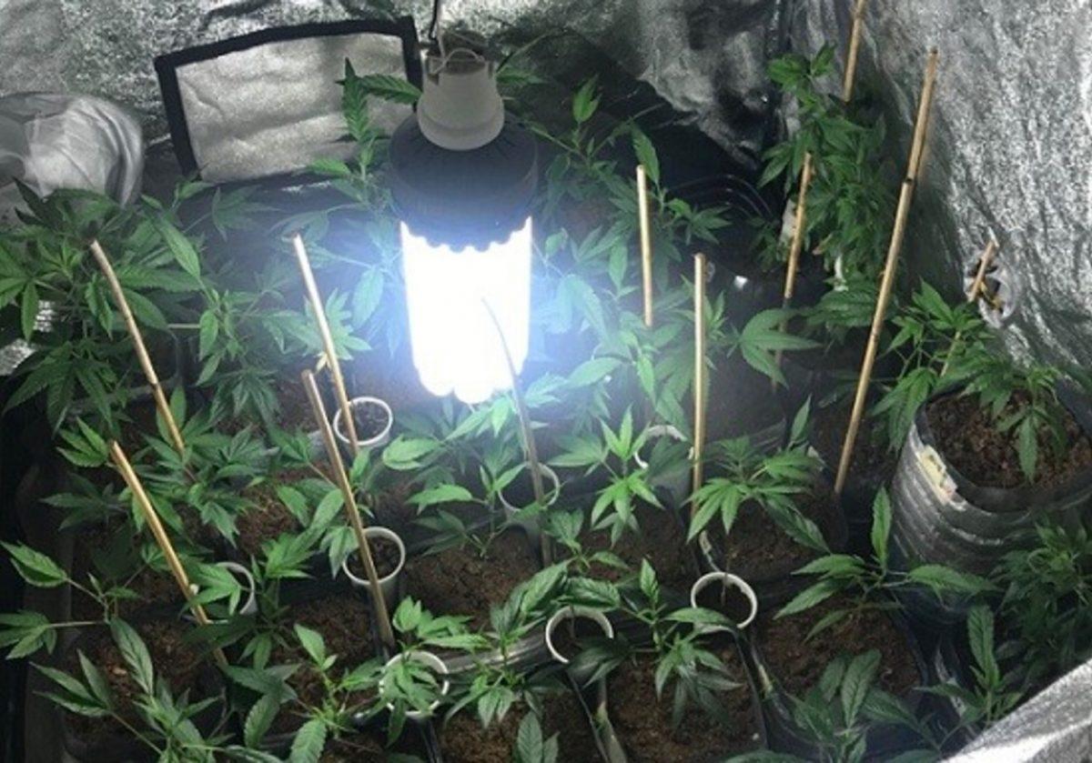 Обнаруженная в квартире плантация конопли. Фото: Департамент полиции и погранохраны.